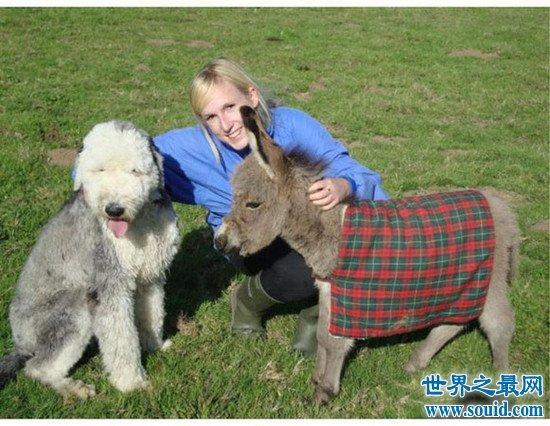 【图】世界上最矮的驴诞生,英国超级迷你驴只有60cm高