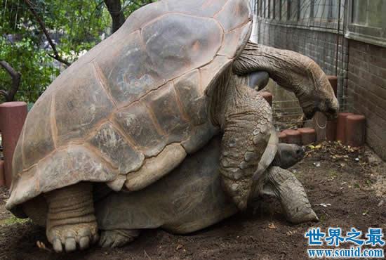 世界上最大的乌龟,加拉帕戈斯象龟(长6米/重7
