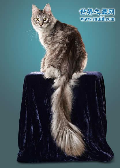世界上尾巴最长的猫,长达45厘米(神奇的动物)