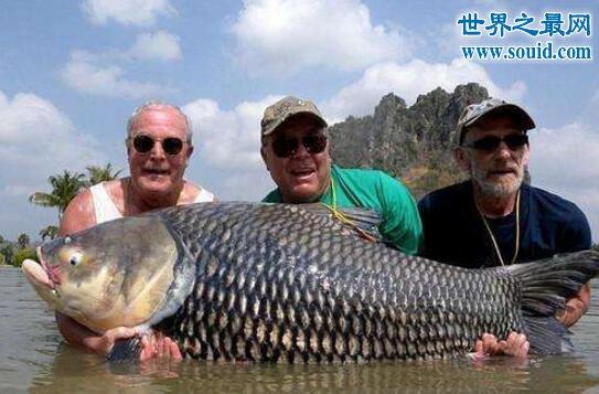 世界上最大的鲤鱼,重达200斤打破世界记录