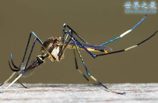 世界上最大的蚊子,华丽巨蚊(长达恐怖的0.4米