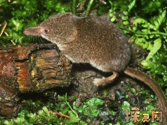 世界上最小的哺乳动物,鼩鼱长4厘米、重2克