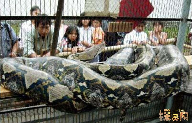 世界上最长的蛇,是何等巨型(竟长达55米)