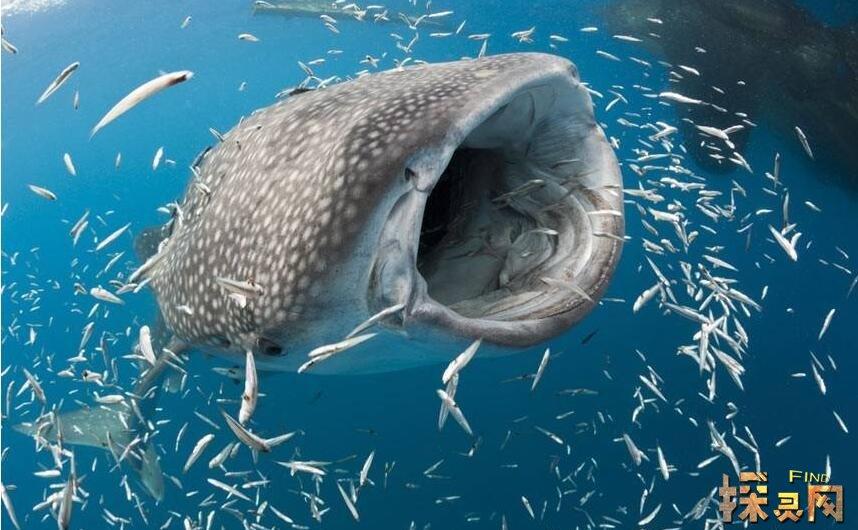 世界上体型最大的鱼,大到你无法想象