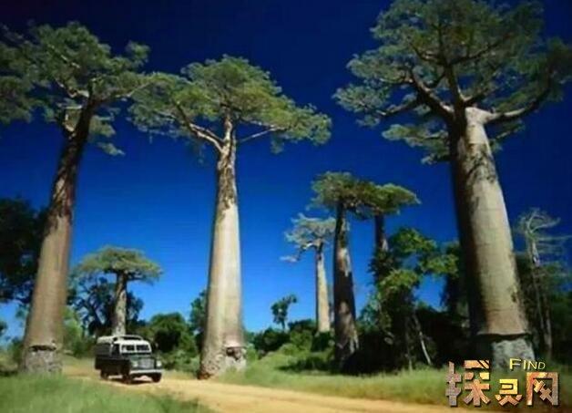 奇特的树有哪些,一棵树养活一村人