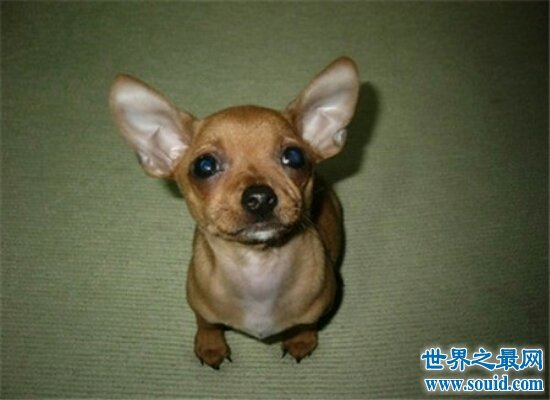 世界最小狗仅28克 10厘米长 刷新了吉尼斯世界纪录