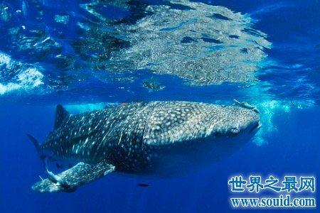 世界上最大的鱼鲸鲨表面凶残 没想到还有这样的怪癖