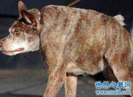 世界上最丑的狗,没有脖子的长腿小怪兽