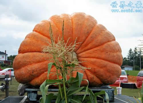 世界上最大最重的南瓜,重1900斤(如汽车一般大)