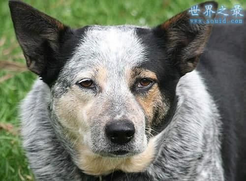 世界上寿命最长的狗,寿命长达30岁