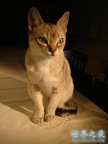 世界上最小的猫,比可乐罐还小(组图)