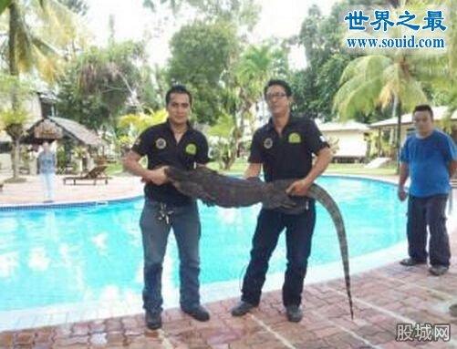 世界上最大的壁虎,2.3米大壁虎吓坏度假人(图)