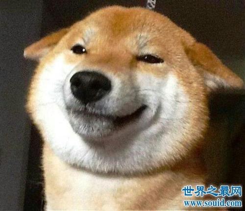 我是柴犬,你们经常把我跟秋田犬搞混,没错就是那个叫八公的家伙