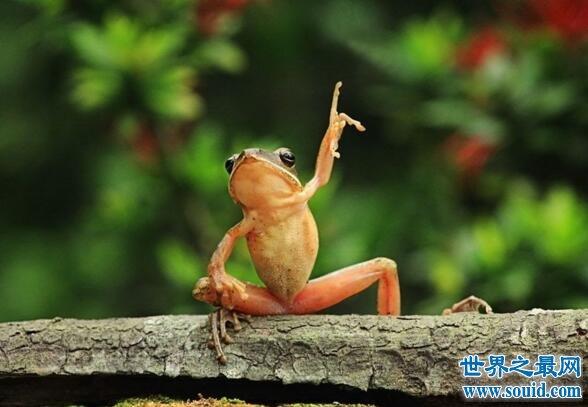 世界上最可怜的青蛙,打伞树蛙(被摄影师凌辱至死)