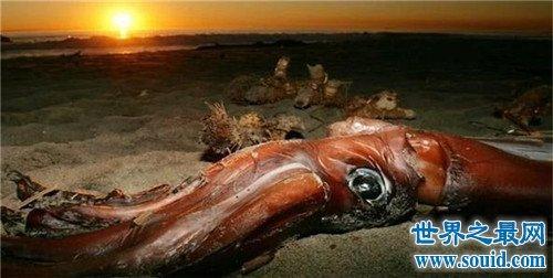 世界上最大的鱿鱼,能够轻易撕裂船只!