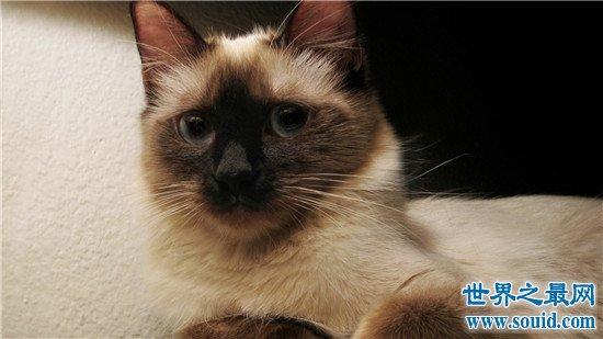 世界上十大最漂亮的猫品种,加菲猫实在是憨态可掬