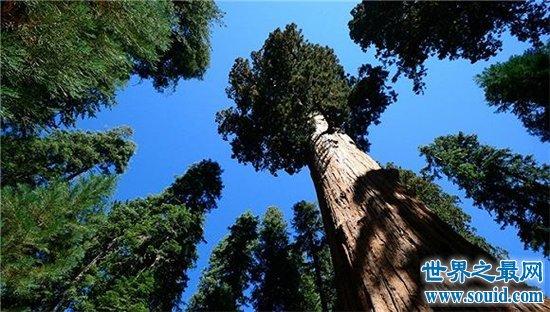 世界上最高的树排行榜,最高的比52层楼还要高!
