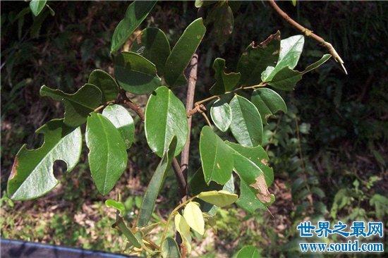 吃人植物生存在热带地区,分泌消化酶对人类造成威胁