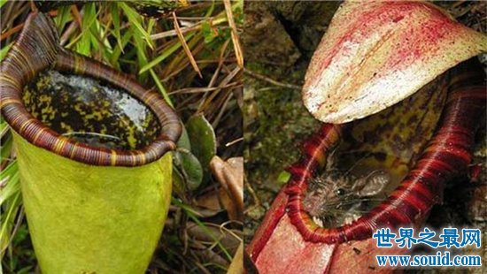 巨型猪笼草在维多利亚山区被发现,一口吞下整个老鼠
