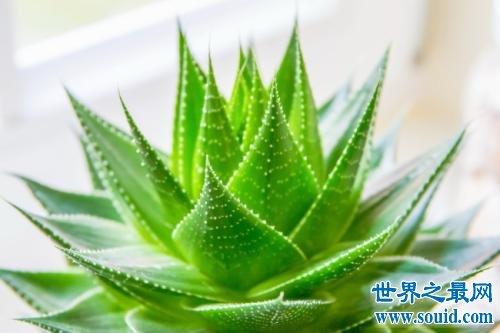 十大室内空气净化植物,改善空气环节压力的最好植物