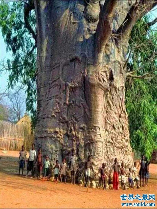 揭秘世界上最大的树 唯一用照相机拍不出全身的树