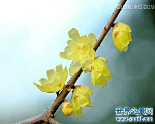 腊梅花非常的漂亮,让我们通过腊梅花图片来了解腊梅花吧!